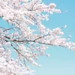 4月12日(日)ロコザイケ桜祭り開催